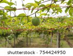 green passion fruit hanging on