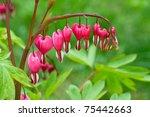 Bleeding Heart Flower  Dicentr...