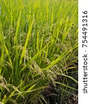rice panicle of rice field | Shutterstock . vector #754491316