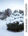 Beautiful Blue Spruce Under Th...