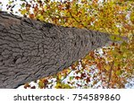 tall tree of the plane tree | Shutterstock . vector #754589860