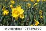 Garden Of Daffodils           ...