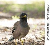 Small photo of Common Myna bird (acridotheres tristis)