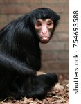 Small photo of Red-faced spider monkey