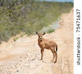 Young Calf Of Oryx Antelope...