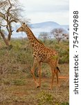 young giraffe running and... | Shutterstock . vector #754740988