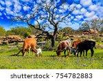 cattle grazing in a bluebonnet... | Shutterstock . vector #754782883