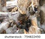 eurasian lynx  portrait of wild ...   Shutterstock . vector #754822450