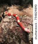Small photo of Pet albino milk snake