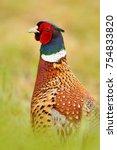 Detail Portrait Of Pheasant....