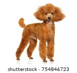 Miniature Poodle In Stand On...