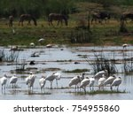 African Spoonbill White