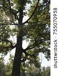 the deciduous tree in summer... | Shutterstock . vector #755070958