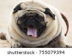 cute little pug puppy | Shutterstock . vector #755079394