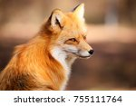 red fox fennec fox | Shutterstock . vector #755111764