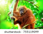 cute baby orangutan hanging on... | Shutterstock . vector #755119099