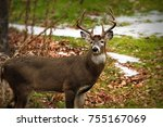 Whitetailed Deer Buck In Wild ...