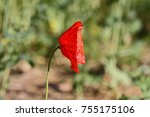 Small photo of Poppy flower or papaver rhoeas poppy its head towards the sun remembering 1918, the Flanders Fields poppies poem by John McCrae and 1944, The Red Poppies on Monte Cassino song by Feliks Konarski