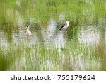 black winged stilt  himantopus... | Shutterstock . vector #755179624