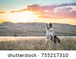 Stock photo aussie dog beauty is sitting near the bank of ili river and watching sunset 755217310