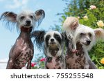 three chinese crested dogs... | Shutterstock . vector #755255548