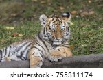 siberian tiger family | Shutterstock . vector #755311174
