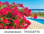 Blooming Bougainvillea With...