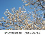 almond flowers in spain | Shutterstock . vector #755320768