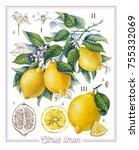 botanical lemon. watercolor | Shutterstock . vector #755332069