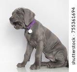 gray purebred great dane puppy... | Shutterstock . vector #755361694
