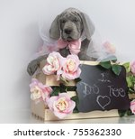 purebred great dane puppy with... | Shutterstock . vector #755362330