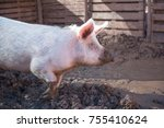 side view of a big pig on a farm | Shutterstock . vector #755410624