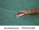 Small photo of the head of a king Cobra with its tongue hanging out crawling on carpet after penetration into dwelling, a frequent phenomenon in tropical countries
