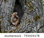 squirrel sits in the hollow of... | Shutterstock . vector #755424178