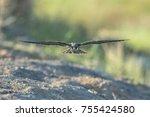 amur falcon  falco amurensis ...   Shutterstock . vector #755424580