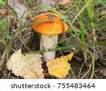 gathering mushrooms. leccinum... | Shutterstock . vector #755483464