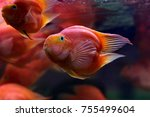 The Blood Parrot Cichlid Is A...