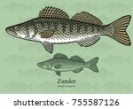 zander  pike perch. vector... | Shutterstock .eps vector #755587126