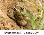 toad hibernate. in asian... | Shutterstock . vector #755592694