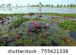 pink water lily at kuttanadu... | Shutterstock . vector #755621338
