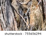 young coyote  hiding in the... | Shutterstock . vector #755656294