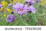 Small photo of Wildflowers in a Meadow Amethyst Aster