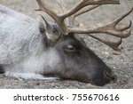 reindeer male portrait up close ... | Shutterstock . vector #755670616