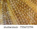 Small photo of Echinus actus esculentus