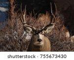 buck mule deer closeup portrait ... | Shutterstock . vector #755673430