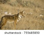 coyote foraging in the dry... | Shutterstock . vector #755685850