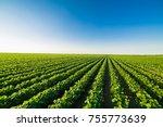green ripening soybean field ... | Shutterstock . vector #755773639