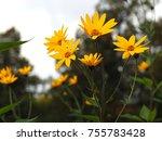 Wonderful Yellow Helianthus...