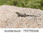 side blotched lizard on a... | Shutterstock . vector #755790268