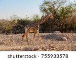 giraffe walking in a zoo | Shutterstock . vector #755933578